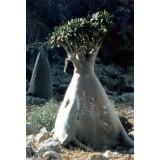 Адениум - роза пустынь