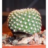 Грибкові захворювання при посівах кактусів