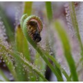 Семена Drosera (Росичка) Capensis alba