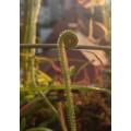 Семена Drosera (Росичка) Filiformis