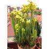 Семена Sarracenia (Саррацения) Flava ugelii