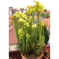 Семена Sarracenia (Сарраценія) Flava ugelii