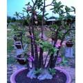Семена Адениум (Adenium) Arabicum BLACK PEARL