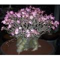 Растение Адениум (Adenium) Arabicum DWARF BLACK RCN