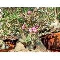 Насіння Adenium Arabicum Desert rose DWARF RCN