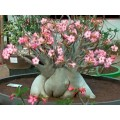 Растение Адениум (Adenium) Arabicum DWARF WHITE GIANT