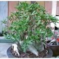 Семена Adenium Arabicum Desert rose LOBHURI