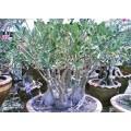 Семена Adenium Arabicum Desert rose SINGBHURI