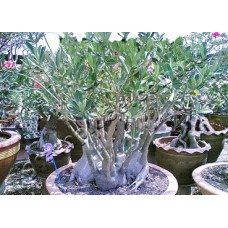Семена Адениум Арабский SINGBHURI