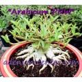 Семена Адениум (Adenium) Arabicum PNW