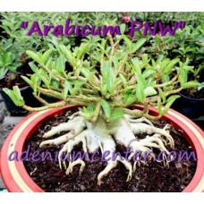 Семена Адениум Арабский PNW