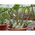 Семена Адениум (Adenium) Arabicum