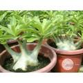Семена Адениум (Adenium) Arabicum BRAZILIAN