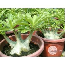 Семена Адениум Арабский BRAZILIAN