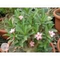 Растение Адениум (Adenium) Arabicum TINY DING DONG
