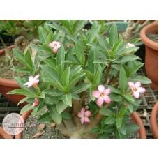 Растение Адениум Арабский TINY DING DONG