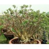 Растение Адениум (Adenium) Arabicum BLACK PNW