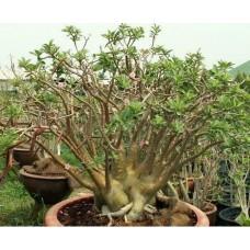 Растение Адениум Арабский BLACK PNW