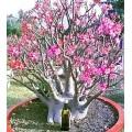 Растение Адениум (Adenium) Arabicum BLACK RCN