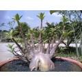 Растение Адениум (Adenium) Arabicum DWARF BLACK KNIGHT
