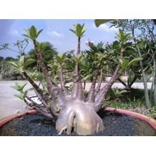 Растение Адениум Арабский DWARF BLACK KNIGHT