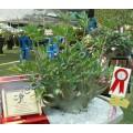 Семена Adenium Arabicum Desert rose DWARF PMK