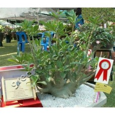 Семена Адениум Арабский DWARF PMK