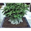 Семена Адениум (Adenium) Arabicum DWARF PNW