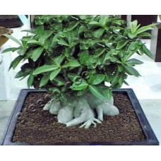 Семена Адениум Арабский DWARF PNW