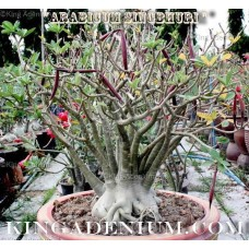Семена Адениум Арабский SINGHABURI