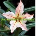 Семена Adenium Obesum Desert rose BONZI