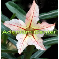 Семена Адениум Тучный BONZI