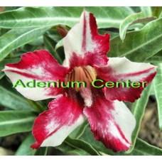 Семена Адениум Тучный CELLONA