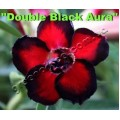 Семена Adenium Obesum Desert rose DOUBLE BLACK AURA
