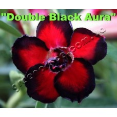 Семена Адениум Тучный DOUBLE BLACK AURA