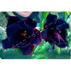 Семена Адениум Тучный DOUBLE BLACK KING