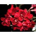 Насіння Adenium Obesum Desert rose DOUBLE BLACK ROSES