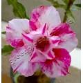 Семена Adenium Obesum Desert rose DOUBLE CANDY BERRY