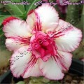 Семена Адениум (Adenium) Obesum DOUBLE CURLY LACE