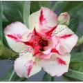Насіння Adenium Obesum Desert rose DOUBLE LOVE AT FIRST SIGHT
