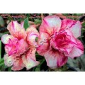 Семена Адениум (Adenium) Obesum DOUBLE LOVE LUMINOUS