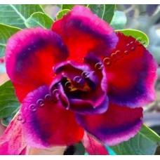 Семена Адениум Тучный DOUBLE RED PURPLISH