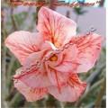 Растение Адениум (Adenium) Obesum DOUBLE SAFFRON