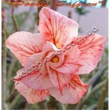 Семена Адениум Тучный DOUBLE SAFFRON