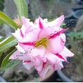 Семена Adenium Obesum Desert rose DOUBLE SNOW BALL