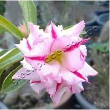Растение Адениум Тучный DOUBLE SNOW BALL