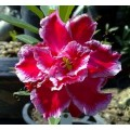 Насіння Adenium Obesum Desert rose TRIPLE ANGEL