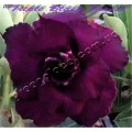 Растение Адениум (Adenium) Obesum TRIPLE BLACK FOREST