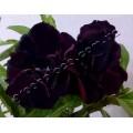 Растение Adenium Obesum Desert rose TRIPLE BLACK SWAN