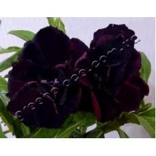 Семена Адениум Тучный TRIPLE BLACK SWAN
